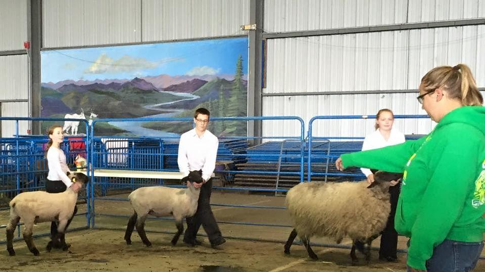 sheep_show