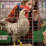 Chicken in cage; woman looking in