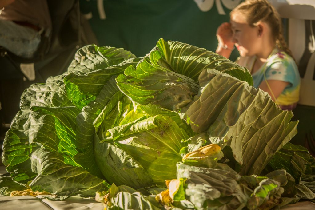 The Cabbage Weigh-off at the Alaska State Fair, Palmer, Alaska